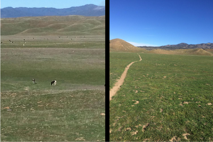 View of Cows Taken from the Pacific Crest Trail (Left) and the Rolling Green Hills of February on the PCT (Right). (Click Image for Larger View.)