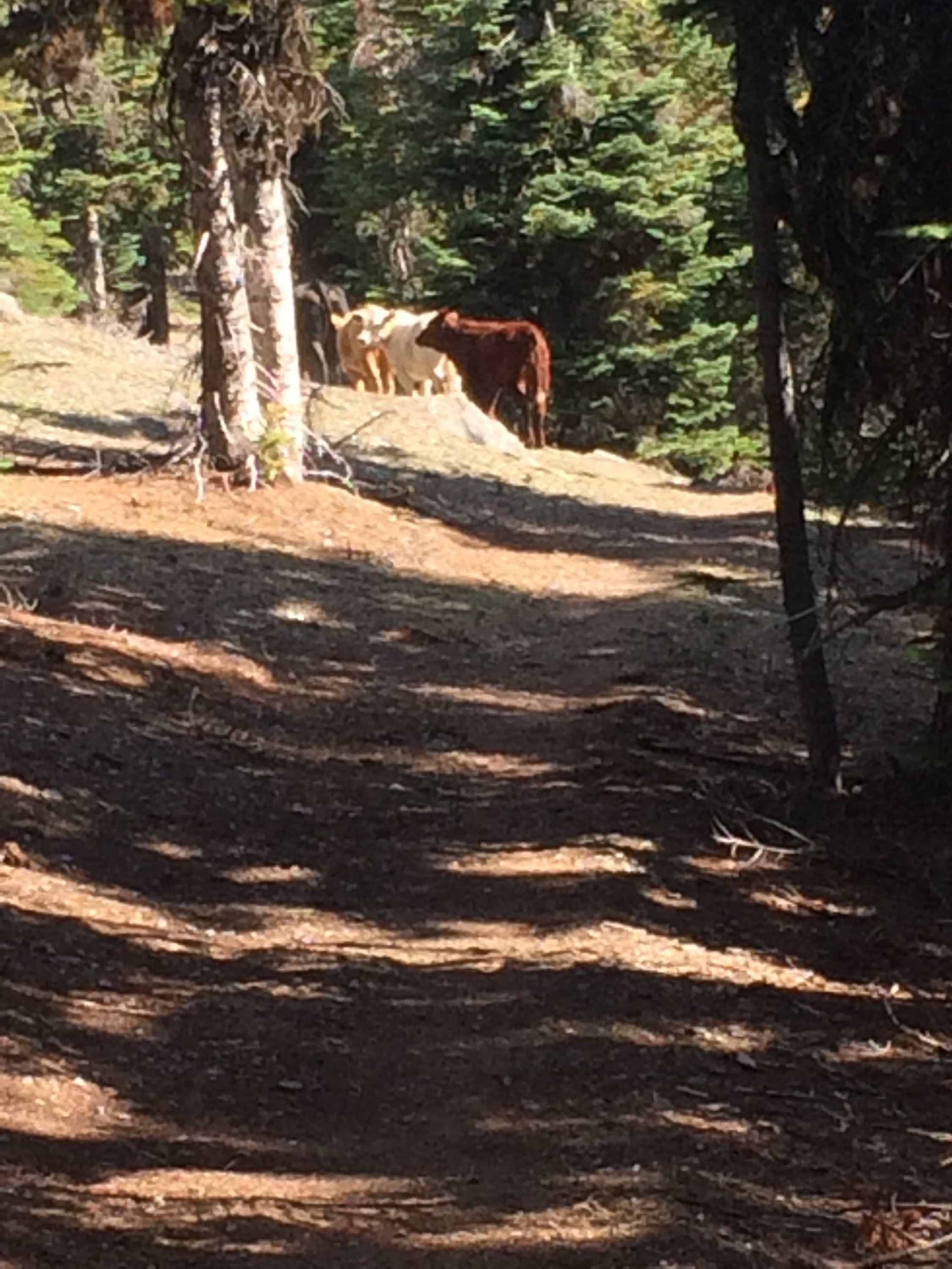 Cow herd on the trail.